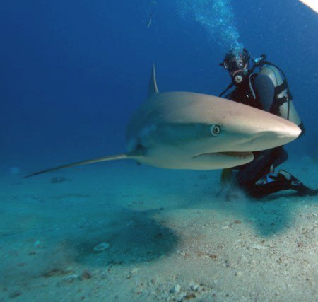 Diving with Sharks SXM
